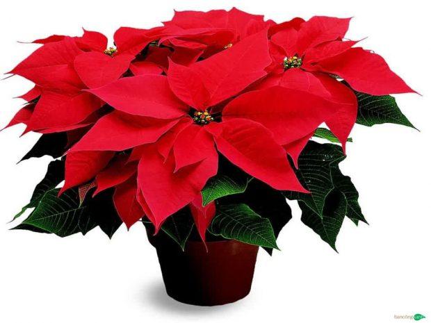 cay de ban danh cho nguoi mang hoa 7 620x465 Chọn cây trồng để bàn cho người mạng hỏa