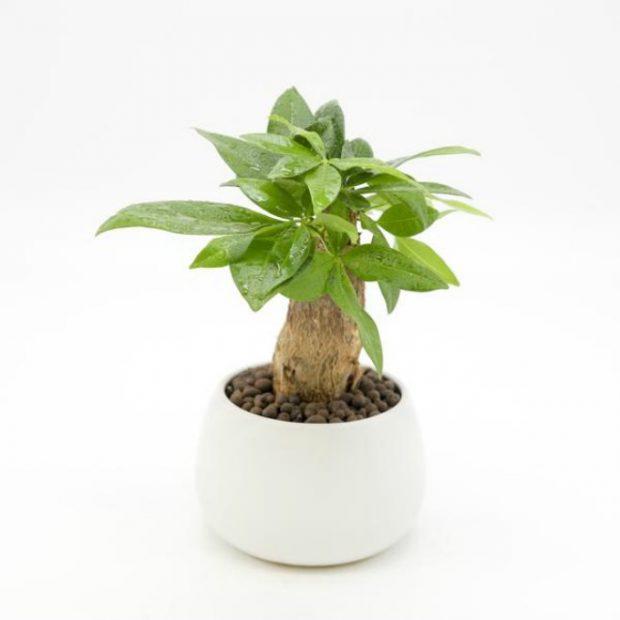 cay de ban phu hop cho nguoi mang hoa 4 620x620 Chọn cây trồng để bàn cho người mạng hỏa