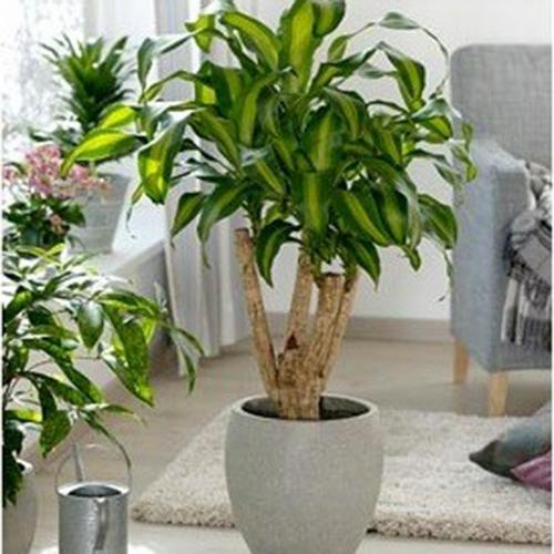 cay de ban phu hop cho nguoi mang hoa 5 Chọn cây trồng để bàn cho người mạng hỏa