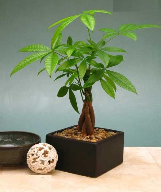 cay de ban phu hop cho nguoi menh hoa 6 Chọn cây trồng để bàn cho người mạng hỏa